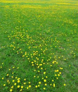 Цветы одуванчика